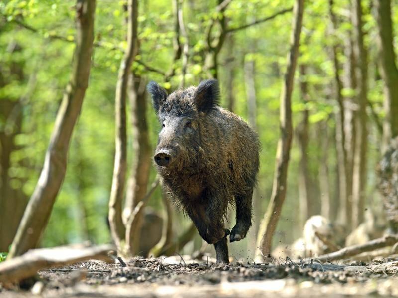 Aber wenn Gefahr droht, können diese Tiere auch schnell rennen – Bild: Shutterstock / Eduard Kyslynskyy