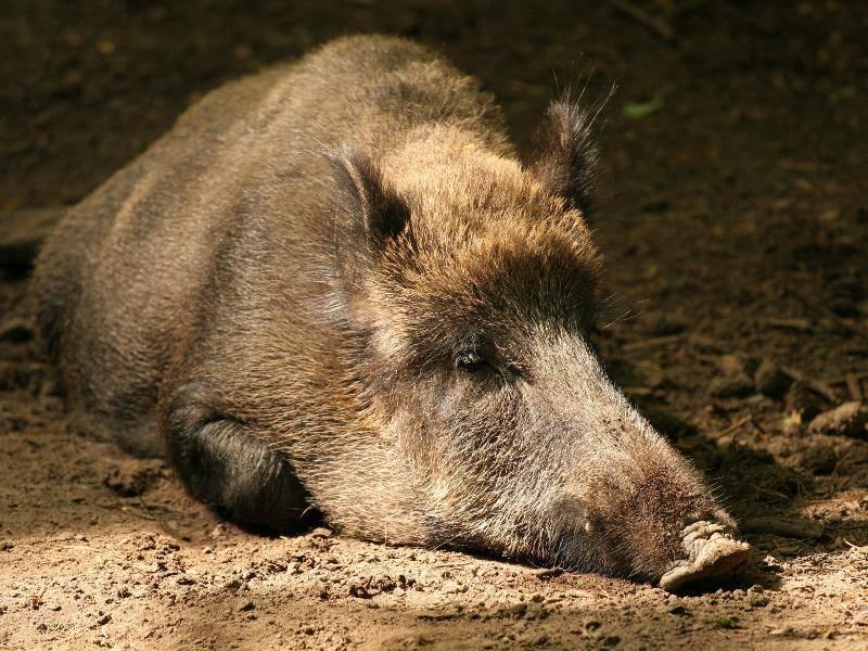 Die meiste Zeit des Tages verbringen Wildschweine eigentlich ruhend – Bild: Shutterstock / Bildagentur Zoonar GmbH