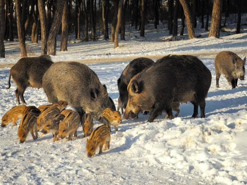 Wildschweine leben in Gruppen oder Familien, männliche Tiere sind auch als Einzelgänger unterwegs – Bild: Shutterstock / Jan Miko