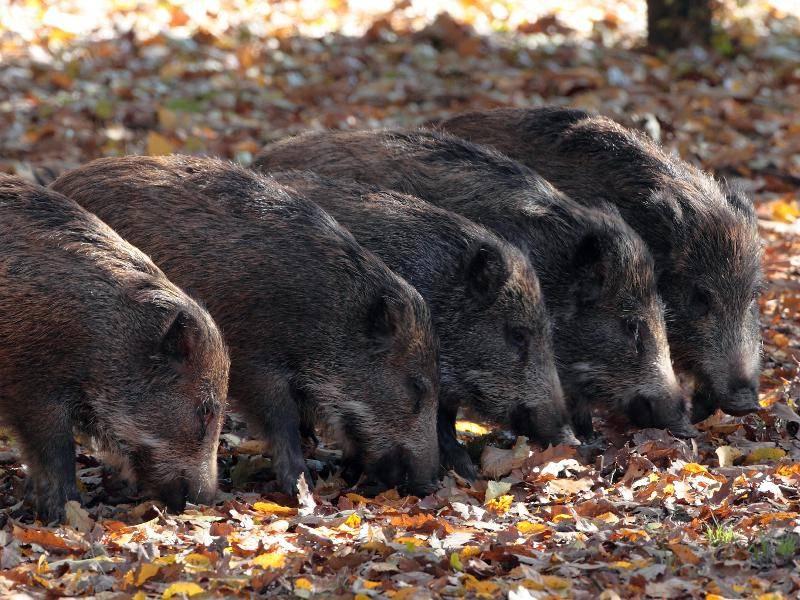 Wildschweine sind Allesfresser und suchen auf dem Boden nach Nahrung – Bild: Shutterstock / Silviu Matei