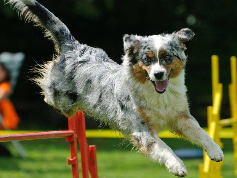 Dreifarbig und so sportlich: Ein Australian Shepherd – Bild: Shutterstock / gpod