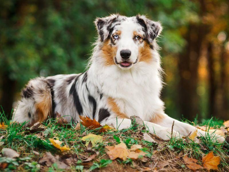 Und dieser hübsche Australian Shepherd bildet das Schlusslicht: Natürlich auch dreifarbig – Bild: Shutterstock / Ksenia Raykova