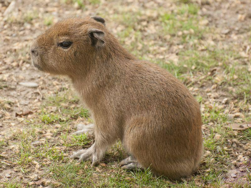 Das Capybara sieht dem Meerschweinchen nicht nur ähnlich, es ist auch eng mit ihm verwandt – Bild: Shutterstock / kerstiny