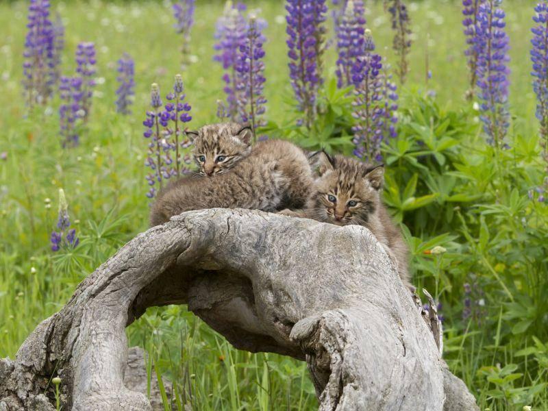 Zwischen zwei und vier Luchsbabys gehören einem Wurf normalerweise an – Bild: Shutterstock / Debbie Steinhausser