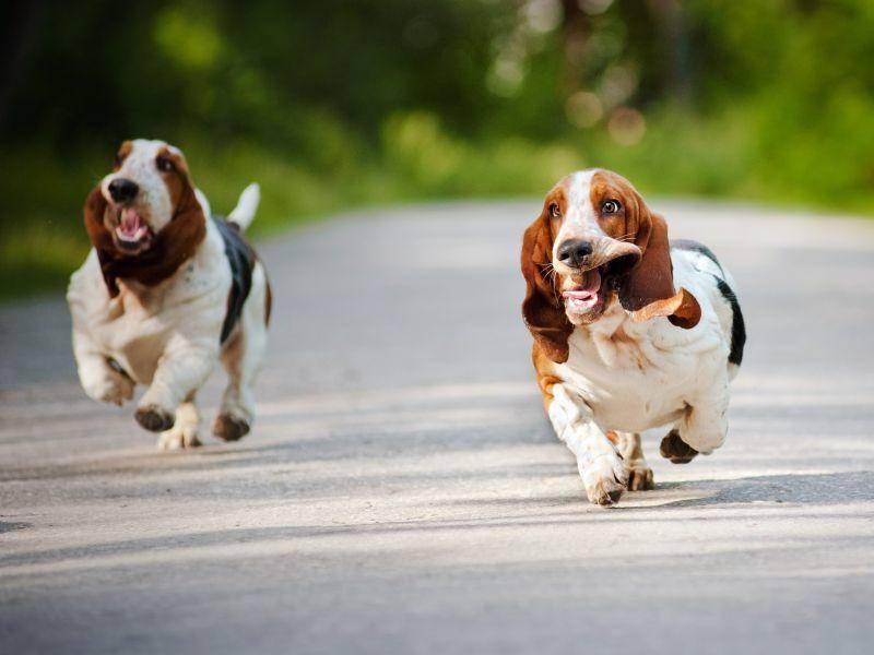 Basset Hounds: Vielleicht die bekanntesten bunten Hunde? – Bild: Shutterstock / Ksenia Raykova