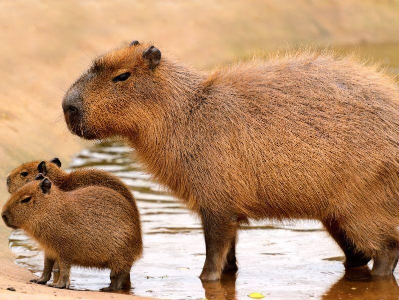 Sind die beiden nicht süß? Capybara-Babys bleiben in den ersten Monaten bei ihrer Mutter – Bild: Shutterstock / Stephen Meese