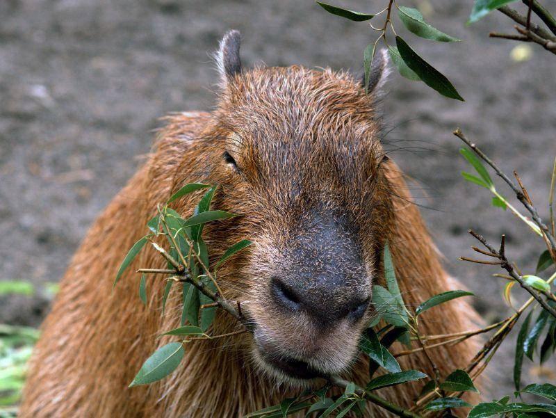 Wasserschweine ernähren sich von Gräsern, Wasserpflanzen und manchmal auch Diebesgut von Plantagen – Bild: Shutterstock / Attila JANDI