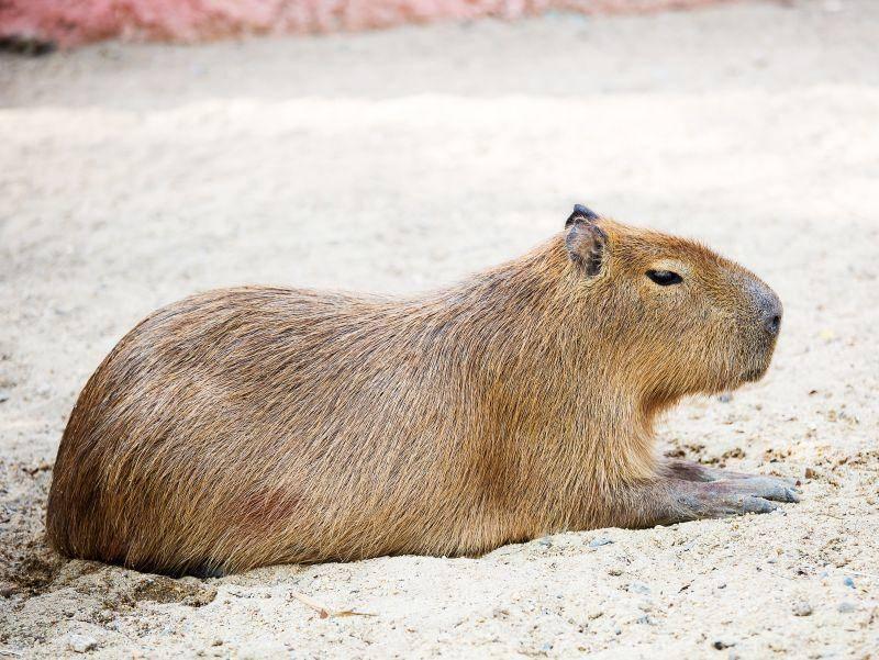 Capybaras werden auch Wasserschweine genannt. Kein Wunder denn ... – Bild: Shutterstock / eddo