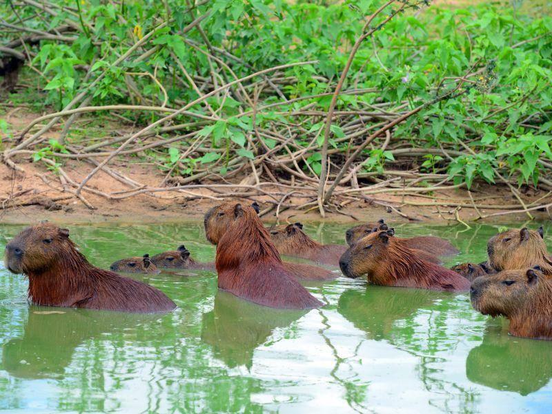 Im seichten Wasser kühlen sie sich an heißen Tagen ab. Bei Gefahr flüchten sie ins tiefe Wasser – Bild: Shutterstock / ckchiu