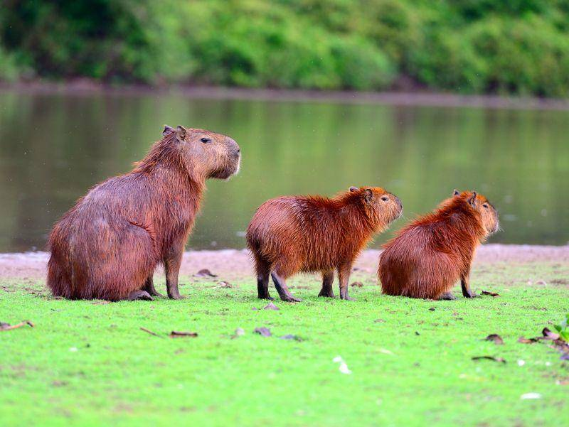 Posieren für den Schnappschuss: Ein Grüppchen Capybaras – Bild: Shutterstock / ckchiu