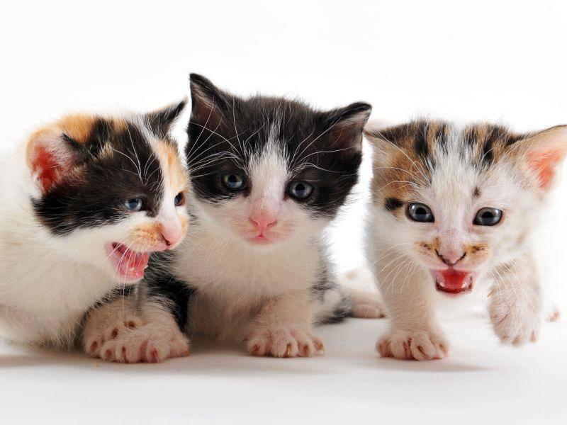 Und bei diesen kleinen Tigern hat sich auch ein zweifarbiges Kätzchen mit aufs Bild geschummelt – Bild: Shutterstock / cynoclub