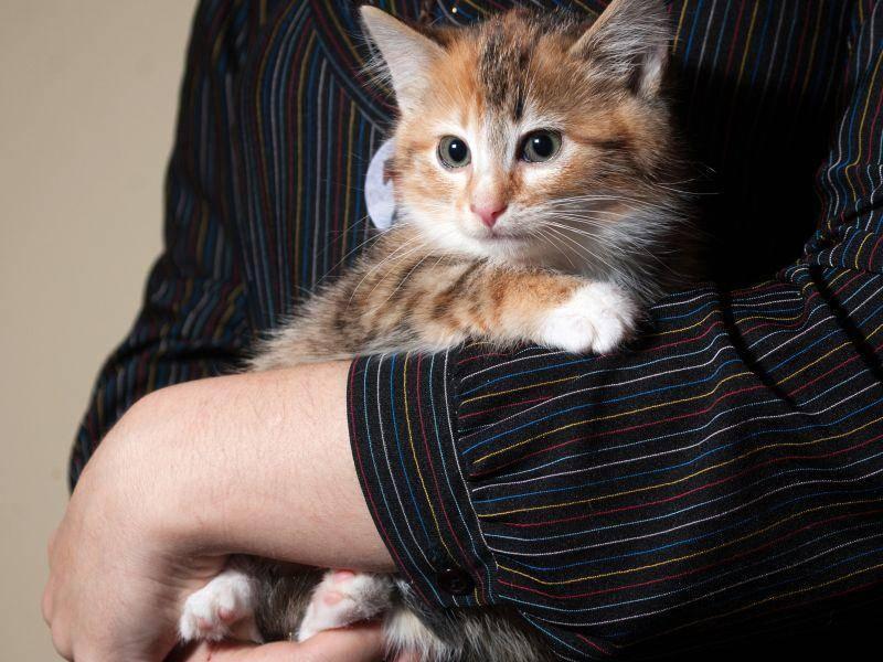 Dieses dreifarbige Katzenbaby ist ganz besonders kuschelig – Bild: Shutterstock / hannadarzy