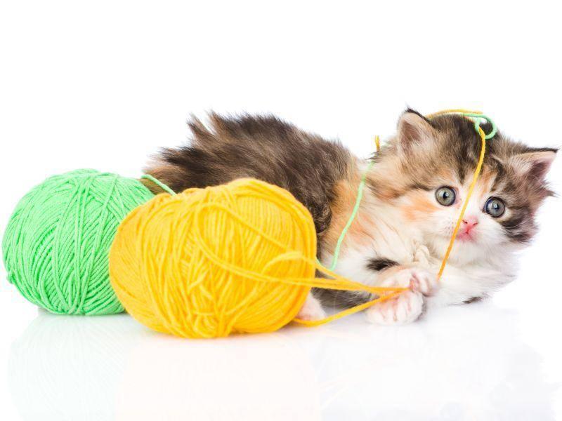 Spielen ist natürlich auch bei dreifarbigen Katzenbabys unheimlich beliebt – Bild: Shutterstock / Ermolaev Alexander