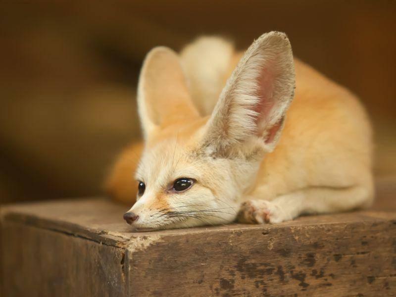 Die großen Ohren des Wüstenfuchses sorgen für eine Regulation der Wärme – Bild: Shutterstock / nattanan726