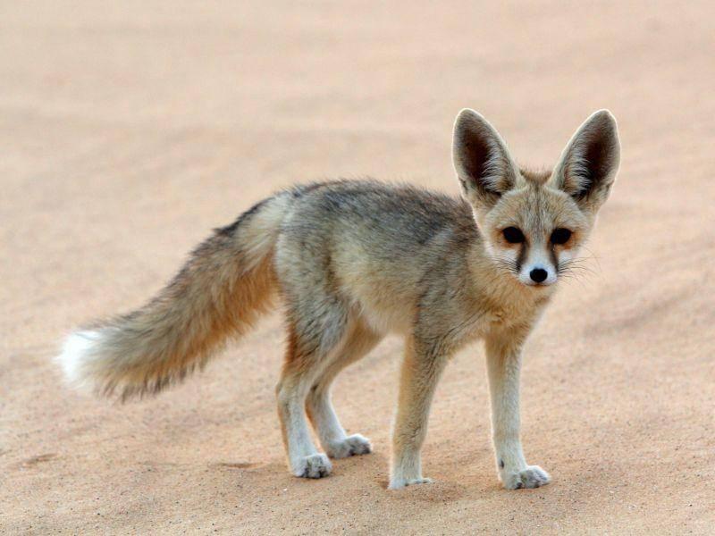 In Nordafrikas Sandwüsten fühlen sich die Füchse zu Hause – Bild: Shutterstock / Cat Downie
