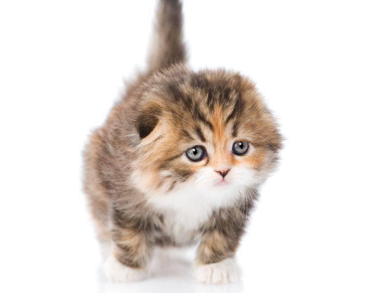 Hier haben wir ein besonders neugieriges dreifarbiges Katzenbaby – Bild: Shutterstock / rmolaev Alexander