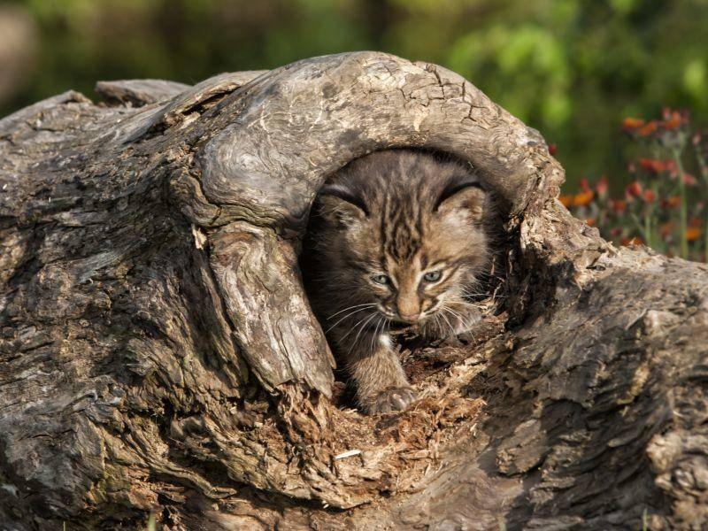 Trau ich mich raus, oder trau ich mich nicht? Dieser kleine Rotluchs kann sich noch nicht recht entscheiden – Bild: Shutterstock / Debbie Steinhausser