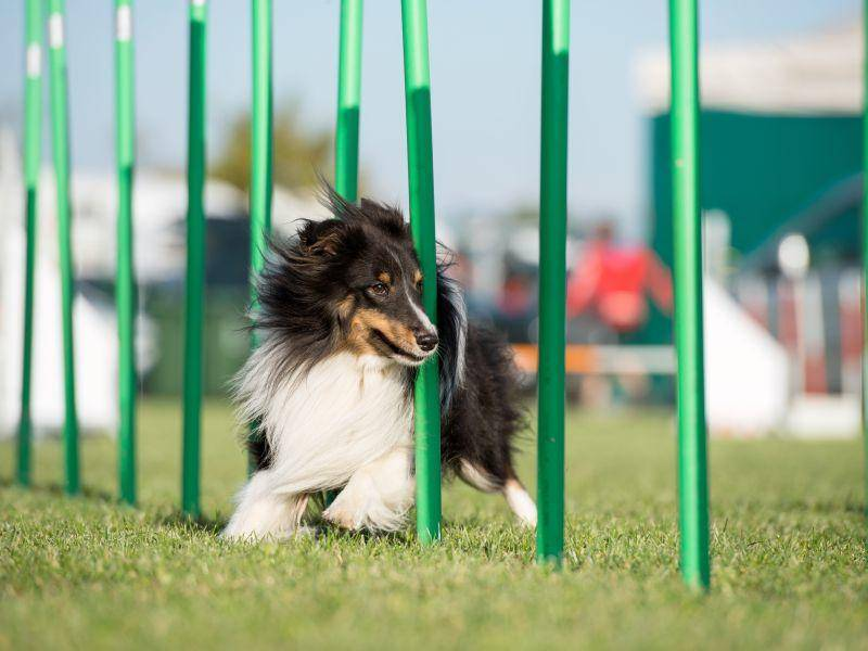 Shetland Sheepdog in Aktion: Sein langes Fell ist dreifarbig – Bild: Shutterstock / AMusicorio