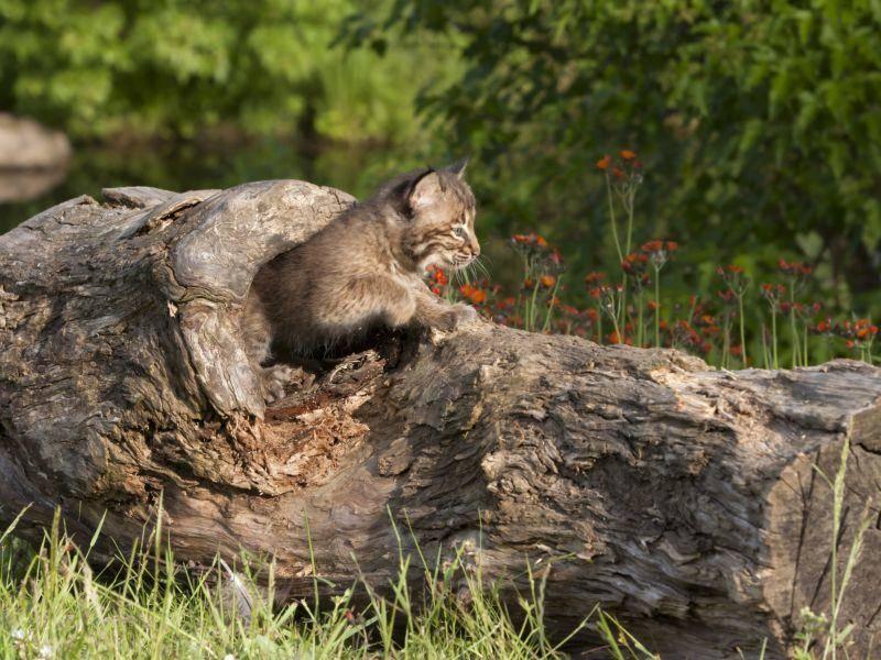 In Ihrem Revier jagen sie kleine Nagetiere, Vögel und Fische – Bild: Shutterstock / Debbie Steinhausser