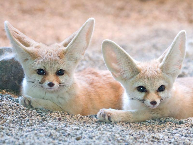 Die süßen Wüstenfüchse leben in Paaren zusammen – Bild: Shutterstock / dean bertoncelj