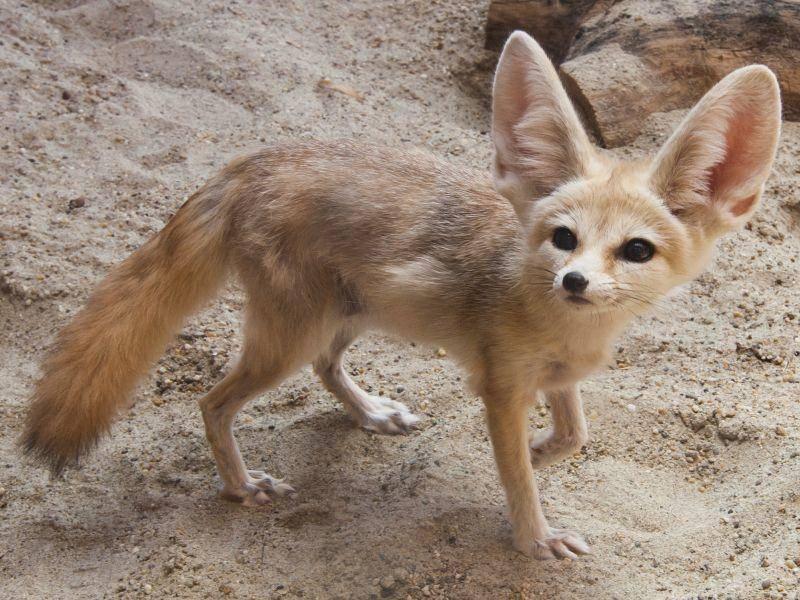 Ohne Schwanz ist der Fennek ausgewachsen etwa 30 bis 40 Zentimeter lang – Bild: Shutterstock / nanka