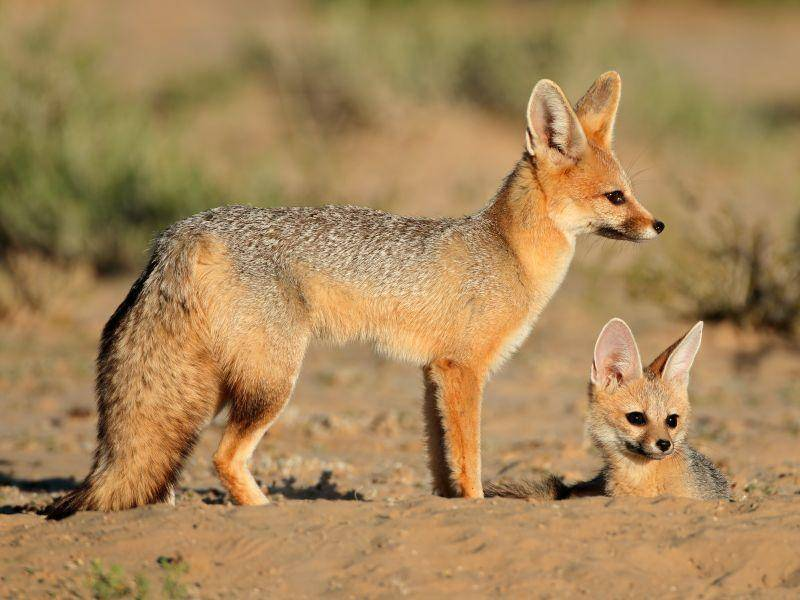 Zwei bis fünf Junge pro Wurf sind in einer Fennek-Familie üblich – Bild: Shutterstock / EcoPrint