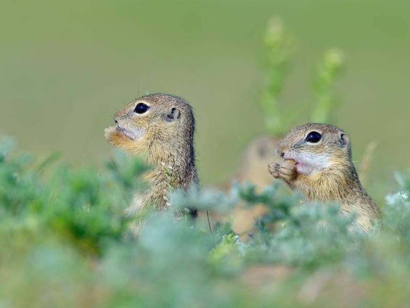 Tagsüber verlassen sie ihren Erdbau und gehen auf Futtersuche – Bild: Shutterstock / aaltair