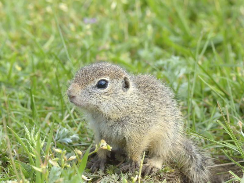 Charakteristisch für diese Tierchen sind ihre kurzen Beine und das gelbgraue Fell – Bild: Shutterstock / All-stock-photos