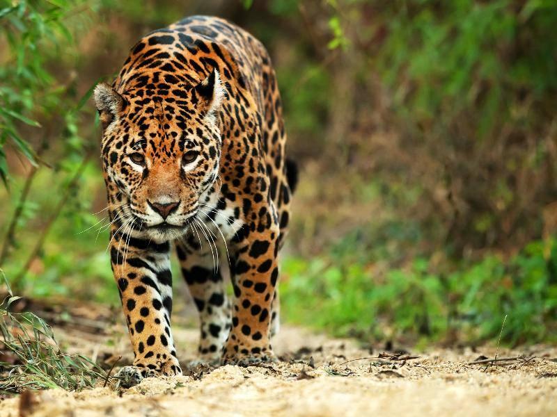 Der Grund dafür ist die goldgelbe Fellfarbe mit der schwarzen Musterung, die ähnlich wie bei Leoparden aussieht – Bild: Shutterstock / Mikadun