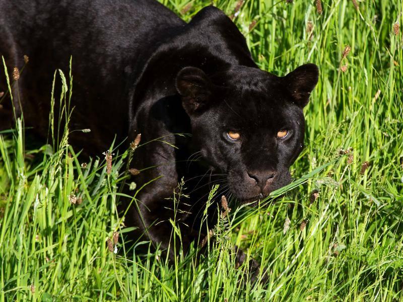 Es gibt allerdings auch Jaguare, deren Fell eine schwarze Färbung aufweist – Bild: Shutterstock / davemhuntphotography