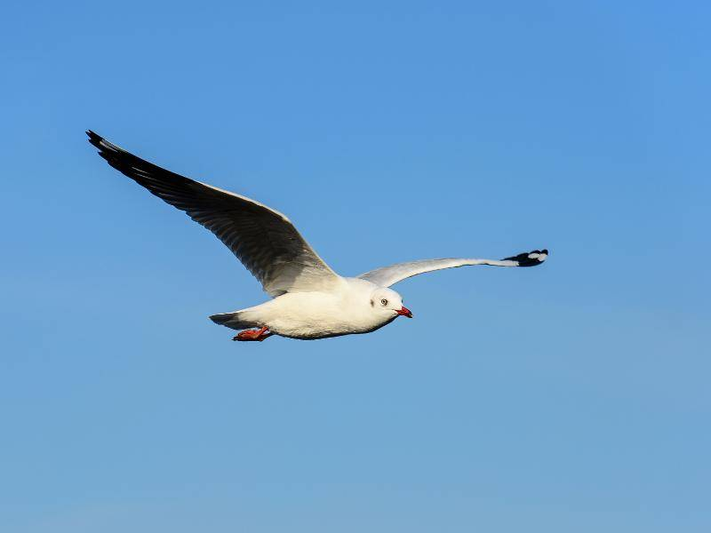 Möwen haben einen schlanken Schnabel und spitz zulaufende Flügel – Bild: Shutterstock / Det-anan