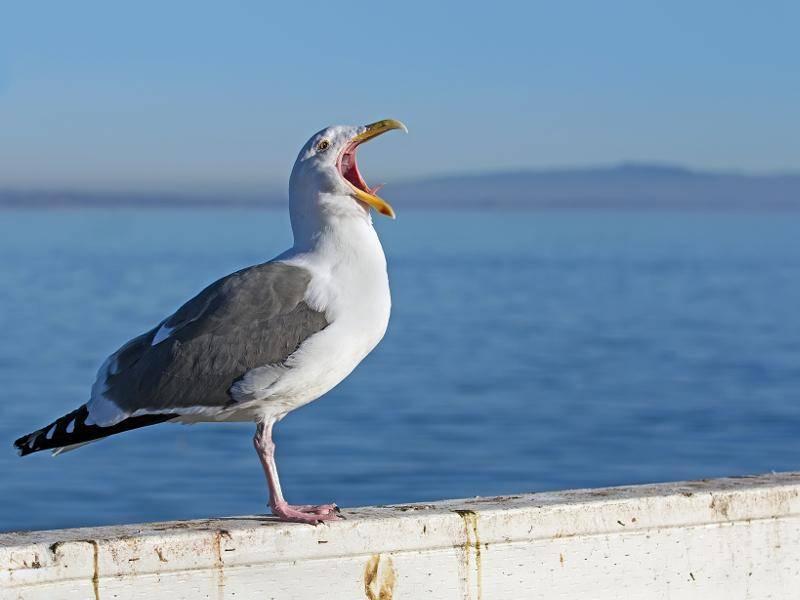 Möwen gehören außerdem zu den etwas lauteren Vogelarten... – Bild: Shutterstock / Galina Gutarin