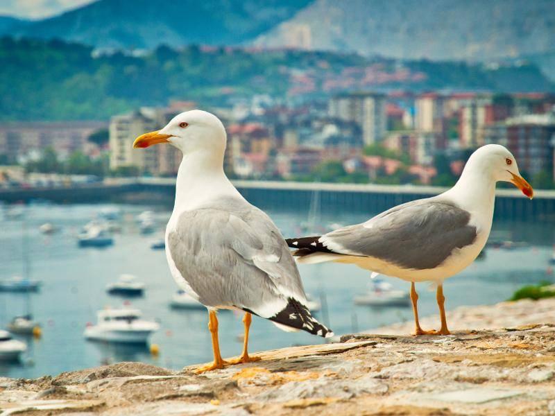 Dort suchen sie nach Nahrung und stibitzen manchmal anderen Vögeln die Beute – Bild: Shutterstock / Botond Horvath