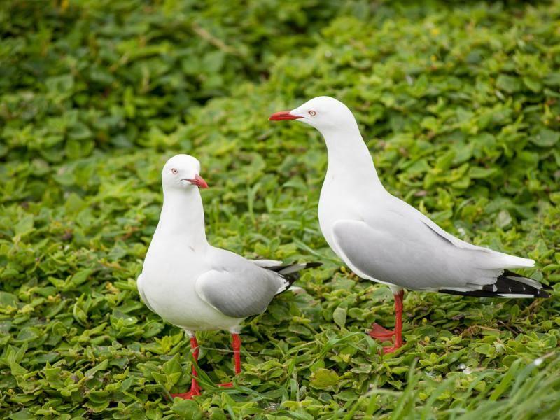 Ihr Gefieder ist meist weiß-grau gefärbt – Bild: Shutterstock / aztekphoto