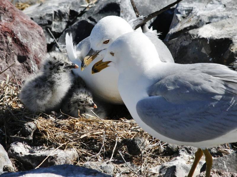 Bei einigen Möwenarten haben die Jungtiere allerdings eine bräunliche Färbung – Bild: Shutterstock / Kathryn Carlson