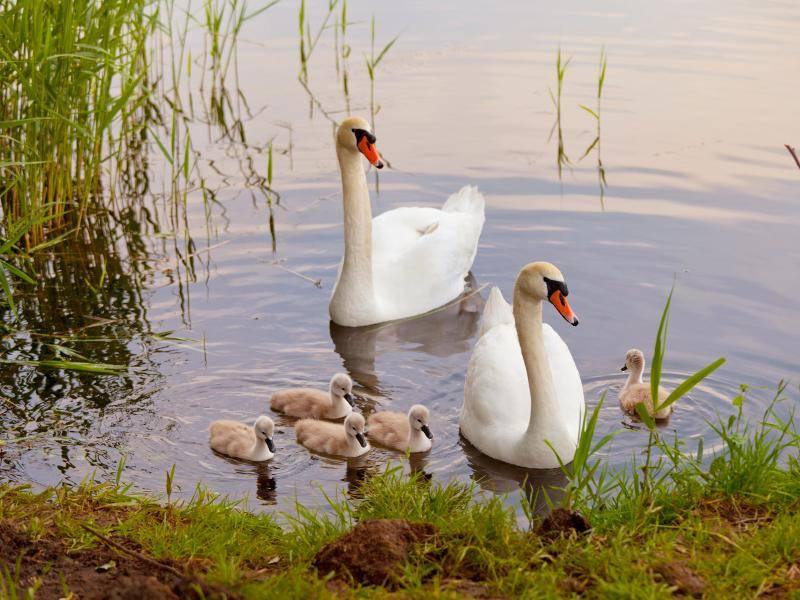 Nach der Geburt umsorgen Schwäne ihren Nachwuchs – Bild: Shutterstock / Igor Borodin