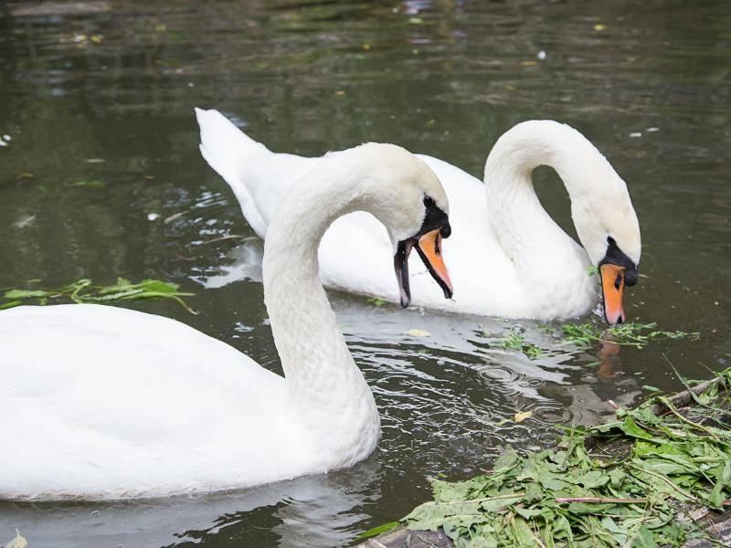 Die Tiere ernähren sich hauptsächlich von Wasserpflanzen – Bild: Shutterstock / Dmitrij Skorobogatov