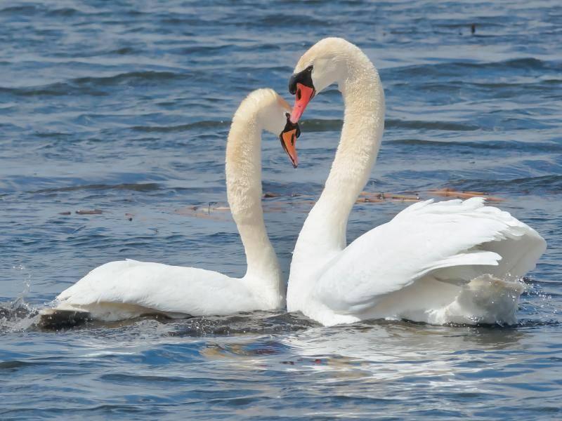 Schwanen-Paare sind sehr treu und binden sich ein Leben lang – Bild: Shutterstock / Paul Reeves Photography