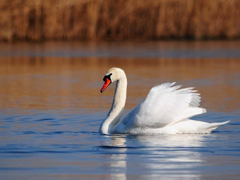 Wundervolle und elegante Tiere, diese Schwäne! – Bild: Shutterstock / YK