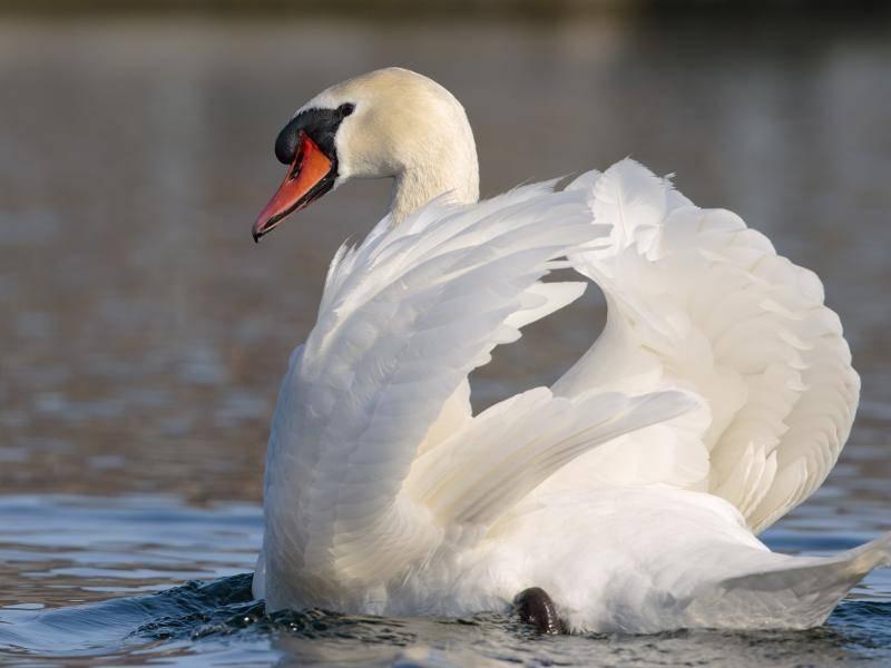 Das Gefieder des schönen Vogels ist meistens komplett weiß – Bild: Shutterstock / Monica Viora