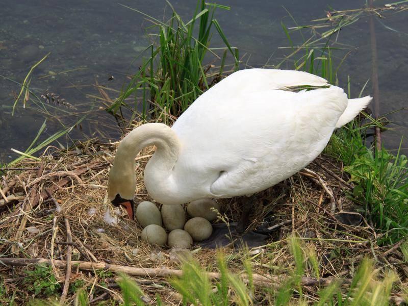 In diesem Nest brüten Schwäne dann vier bis sechs Eier aus – Bild: Shutterstock / Zocchi Roberto