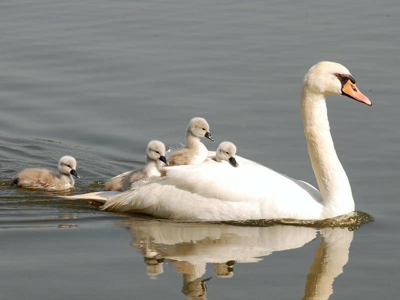 Und manchmal werden die Kleinen sogar auf dem Rücken ihrer Eltern transportiert – Bild: Shutterstock / Karel Gallas