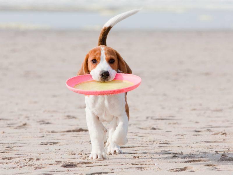 """Süßer Beagle beim Spielen: """"Schaut mal, was ich gefunde habe!"""" – Bild: Shutterstock / Peter Kirillov"""