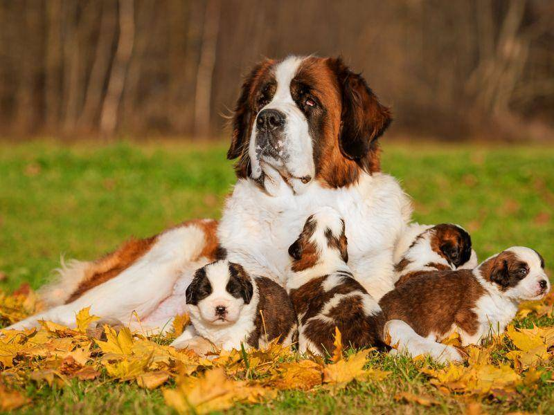 Wie süß: Eine stolze Bernhardiner-Mama hütet ihre Kleinen – Bild: Shutterstock / Rita Kochmarjova