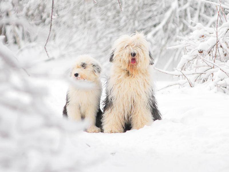 Im Schnee für's Foto posieren, das macht diese Bobtailfamilie doch gern – Bild: Shutterstock / Olga_i