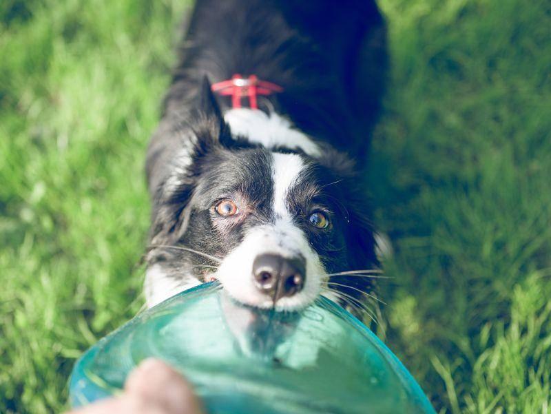"""""""Gib schon her!!!"""" Sein Lieblingsspielzeug teilt dieser Border Collie nicht – Bild: Shutterstock / oneinchpunch"""