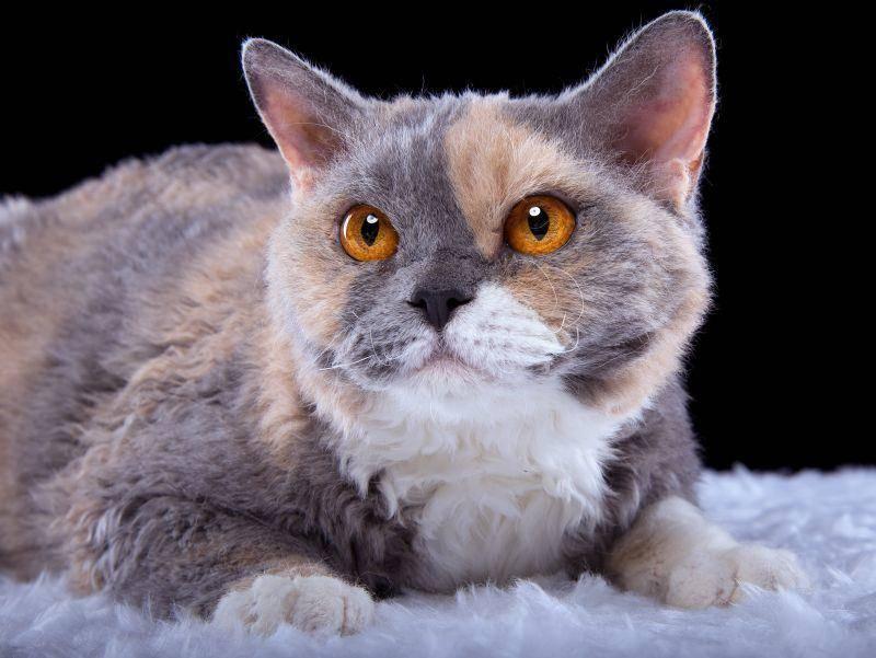 Diese Samtpfote hat eine besonders schöne Färbung abbekommen – Bild: Shutterstock / Cressida studio