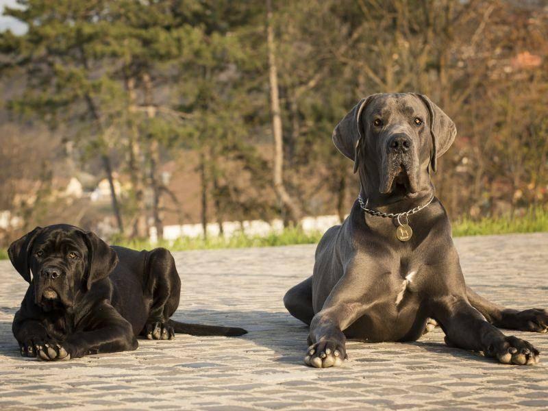 Mit anderen Hunden versteht sich der Cane Corso normalerweise sehr gut – Bild: shutterstock / belu gheorghe1