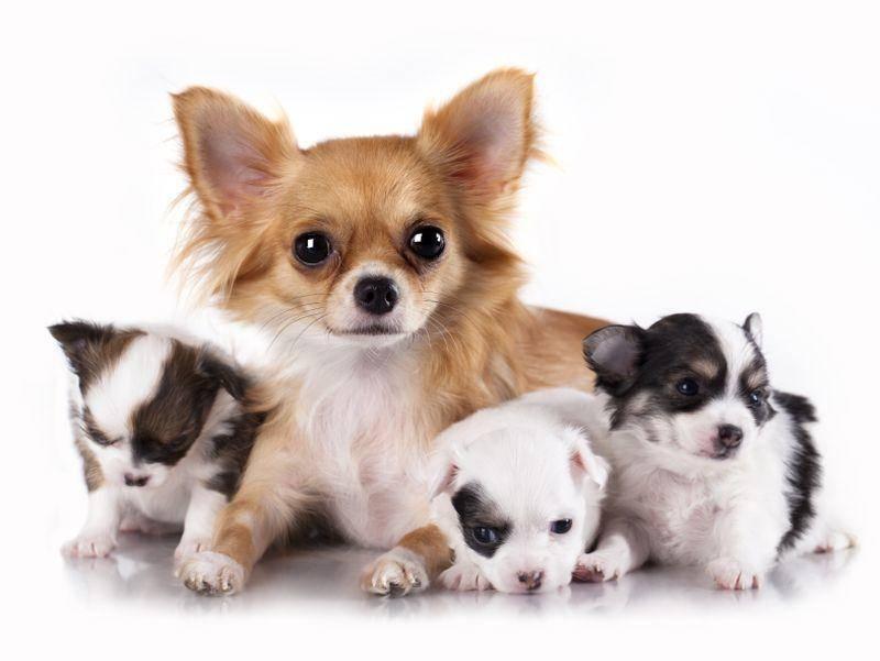 Einmal fürs Gruppenfoto posieren: Ist diese Chihuahuafamilie nicht süß? – Bild: Shutterstock / Liliya Kulianionak