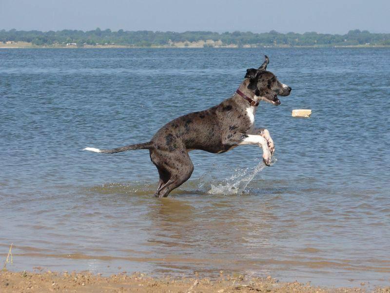 """Junge Dogge auf Tour: """"Im Wasser spielen, das macht Spaß!"""" – Bild: Shutterstock / Birgit Sommer"""